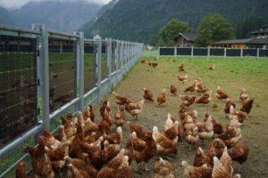 APV-Weidezaun - Auslaufbegrenzung für Hühner, Schweine oder andere Stalltiere