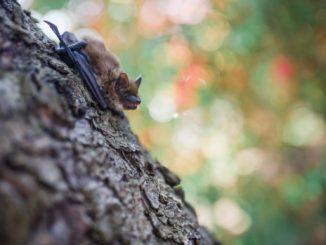 Fledermaus auf Baumstamm